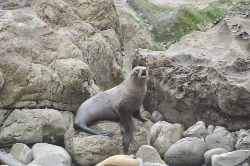 Seal Colony, Ohau, Kaikoura, New Zealad